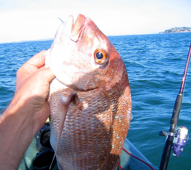 Kayak fishing for Snapper in Auckland Harbour, NZ