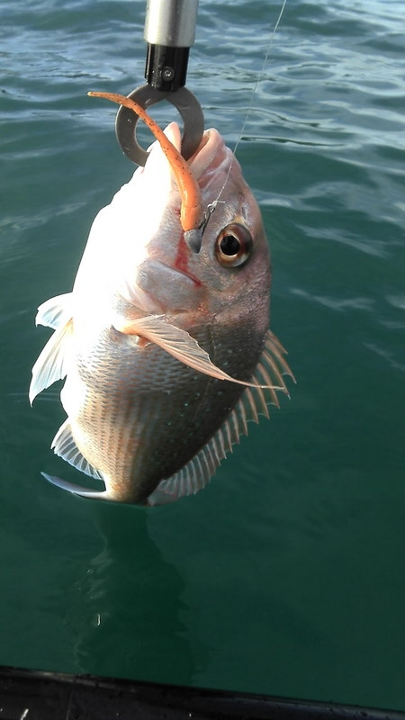 another good sized snapper