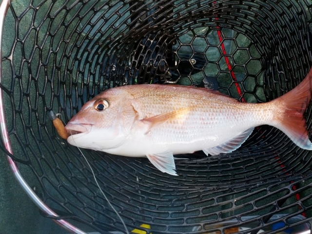 Red Snapper New Zealand
