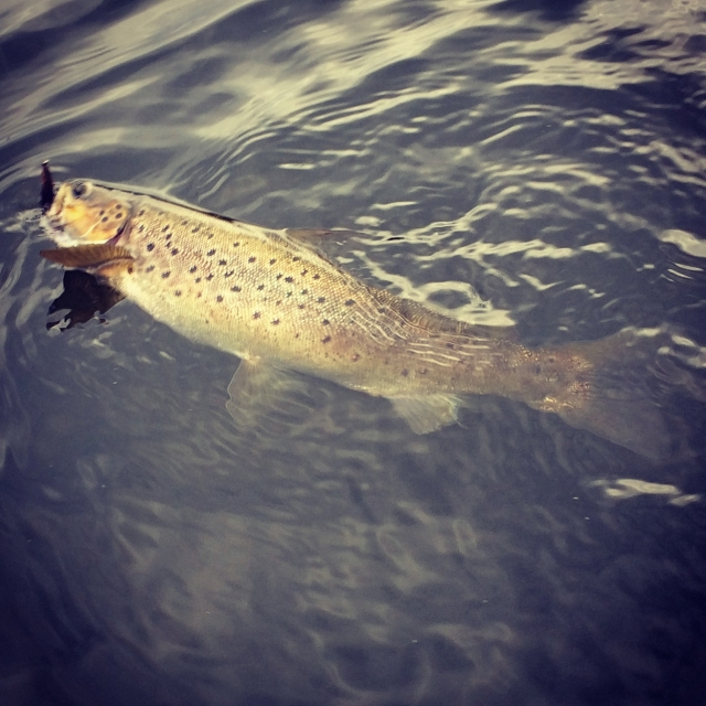 Nice brown trout caught from my paddle board