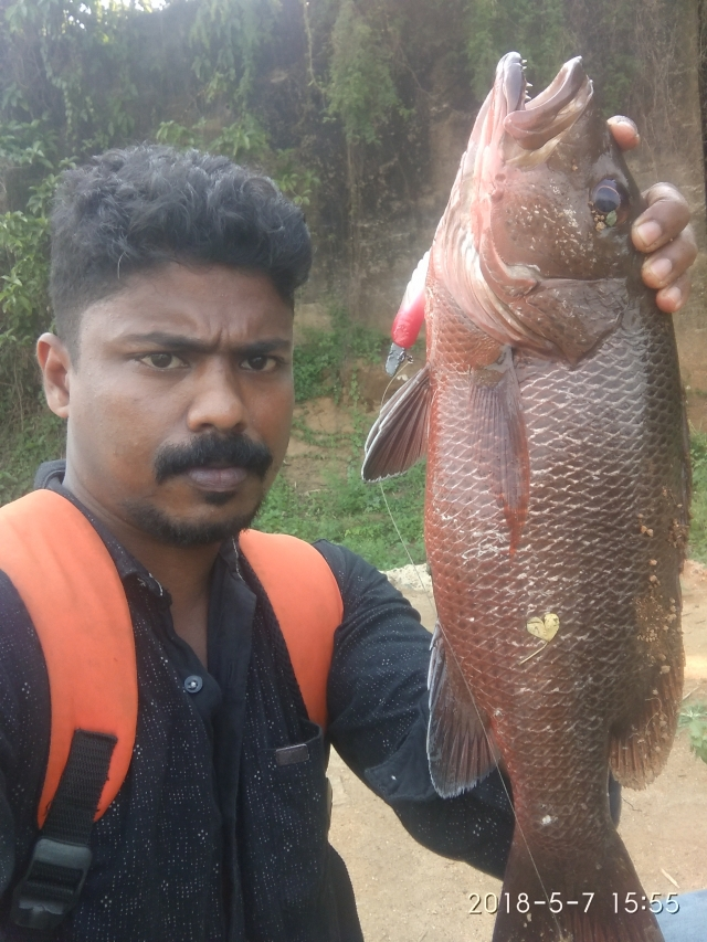 Kerala chempalli.. big mangrove jack