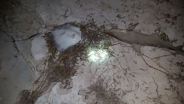 Lemon shark & Sting ray