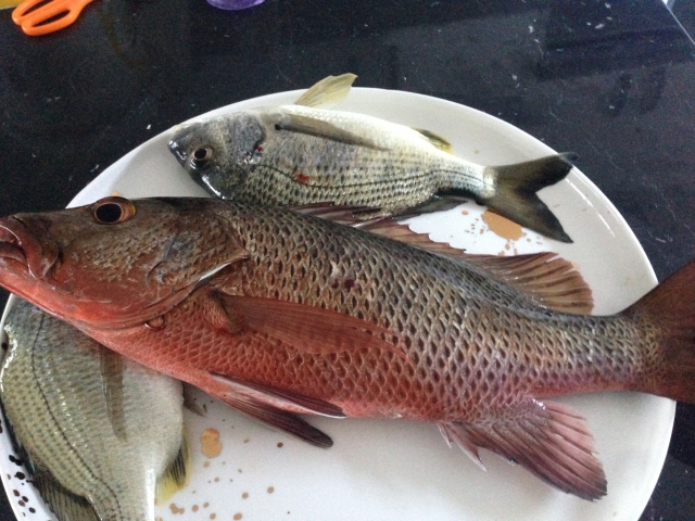 Mangrove jack is always a welcome by catch when fishing for bream on light line