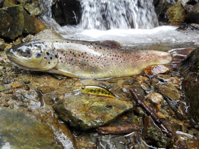 Salmon Trutta Macrostigma on DUO Spearhead Ryuki Gold Yamame