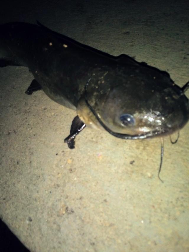 Channel Catfishr