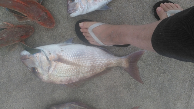 Snapper and Gurnard, The foot indicates the size. (3.2 kg, the fish, not the foot)