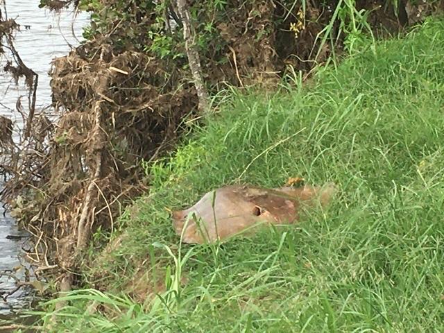 Stingray Caught In Tumbulgum