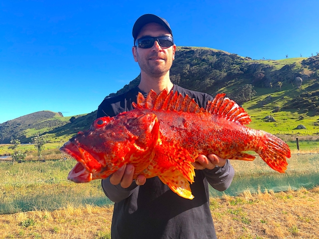 Scorpion Fish, also known as Grandfather Hapuku from New Zealand