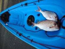 Two snapper in a blue Kayak