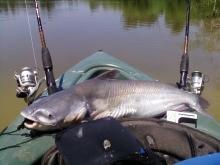 Catfish 7lbs