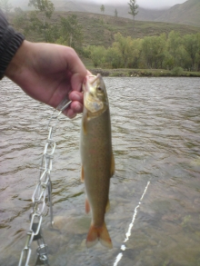 a lenok trout caught yesterday