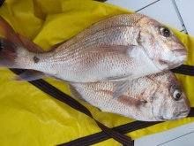 closeup - two snapper