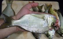 sea bream fish
