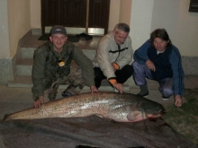 Catfish 57kg River Sava Bosnia Šamac