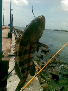 Hamoor Catch at Munampam Kerala