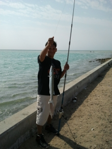 my honey catches Barracuda