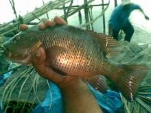 Mangrove Jack from Munampam
