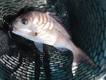 My favorite softbaits for snapper fishing