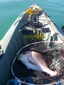 New Zealand Snapper on my Kayak
