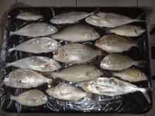 QUEEN FISH, ABU LABAN, SHERRI, SILVER GRUNT, ETC