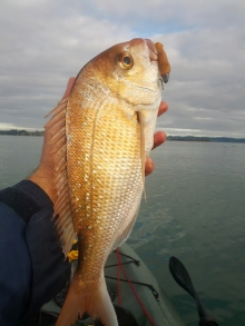 New Zealand Winter Snapper