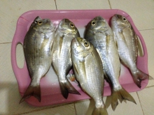 Snappers from Ajman, United Arab Emirates