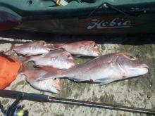 todays catch - auckland spring snapper