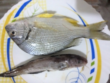 Fishes from Ajman UAE