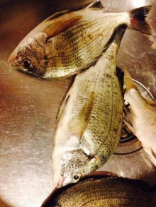 Sea Bream ?