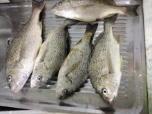 Nice silver grunts caught in the uae