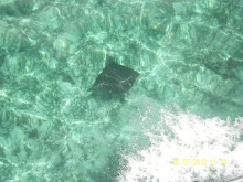 hunting Key spot sting Ray