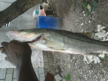 Snook caught with live pinchers on 20 lb braid