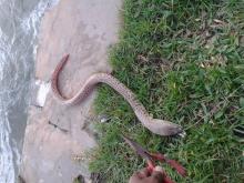 snake or eel????