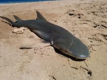 shark 3