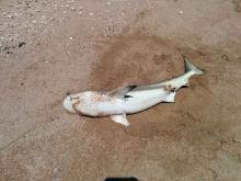 shark 4a
