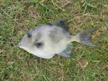 Grey Triggerfish caught in Chaguaramas on Rod & Reel 30/03/2015