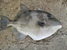 Grey Triggerfish caught by my wife 30/03/2015
