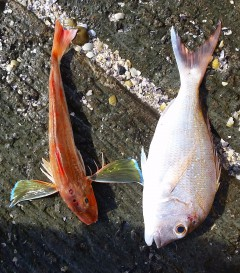 snapper and gurnard