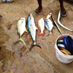 Cavali. Carite. Snapper. Spanish cavali. Needlefish