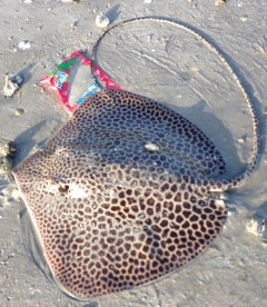 6 kg sting ray from Ajman UAE