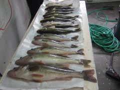 walleye fishing dec12
