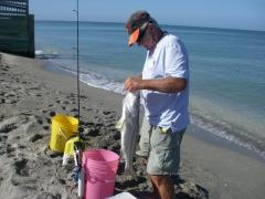 Venice FL. Beach Snook.