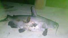 7 1/2 pound blue catfish