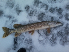 This is my 29 inch pike same day