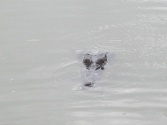 Croc by our boat