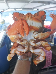 Nice Spanner crab