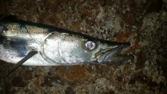 Barracuda Pretty Face