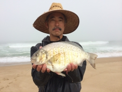 Bert's Barred Surf Perch
