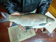 Rohu Catch