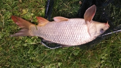 Nice condition shiny carp